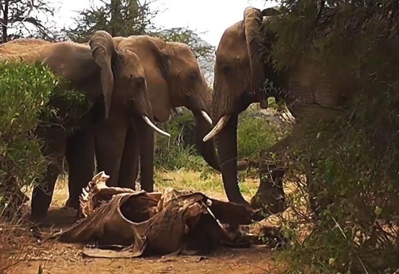 Вот, что происходит, когда умирает слон