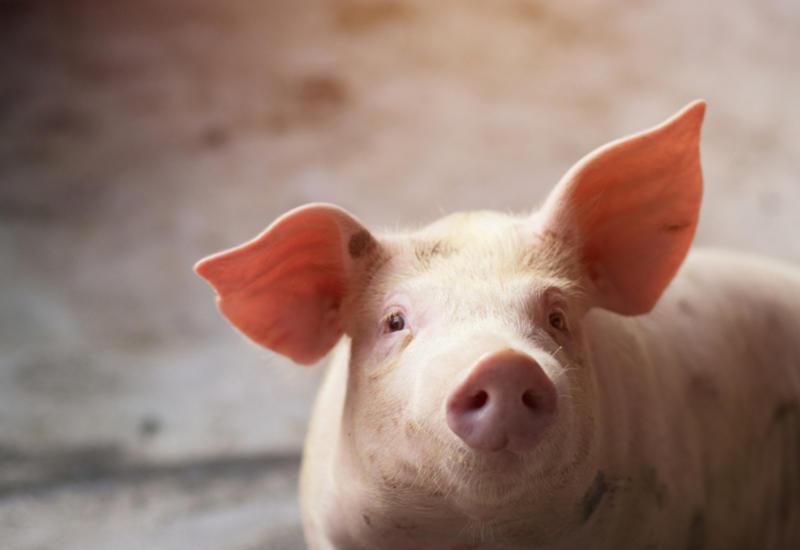 Людям могут начать пересаживать сердца свиней