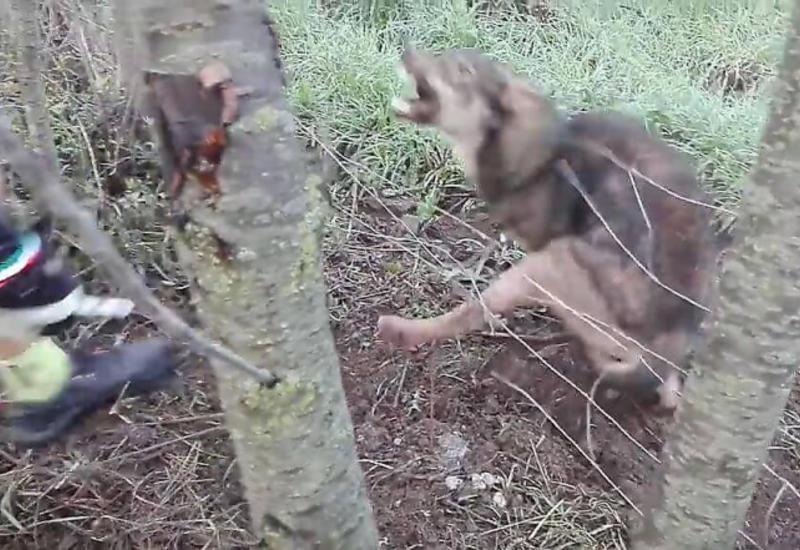 Волк, застрявший в проволоке, напал на своего спасателя
