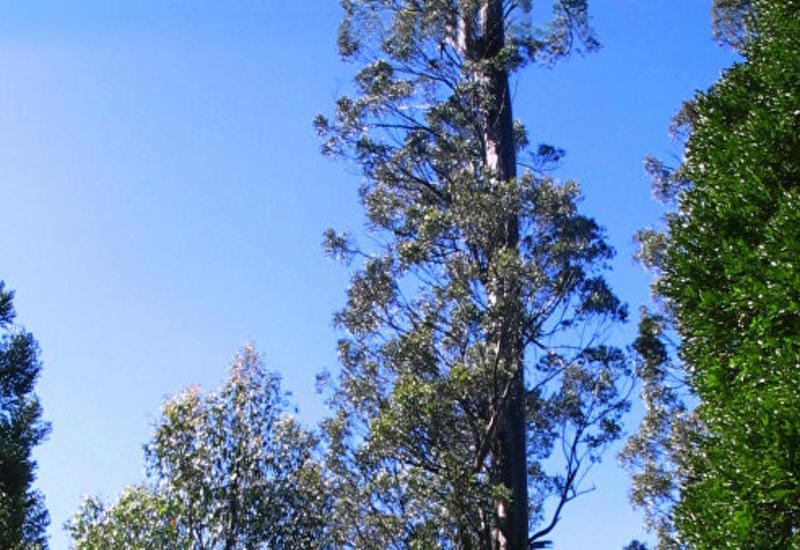В Тасмании обнаружено самое высокое в мире лиственное дерево