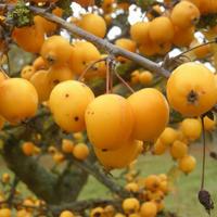 В Азербайджане начался сезон мушмулы: лечебные свойства плодов