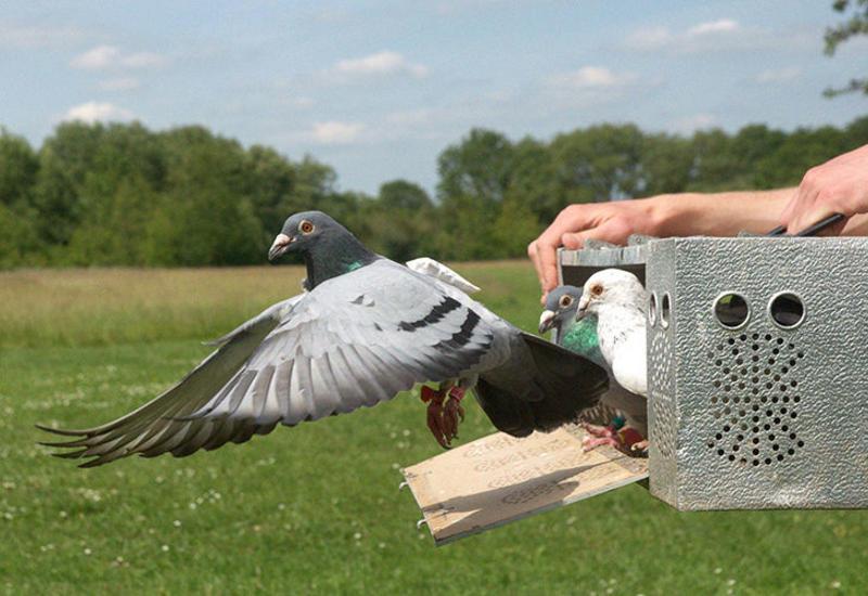 Как почтовые голуби находят дорогу?