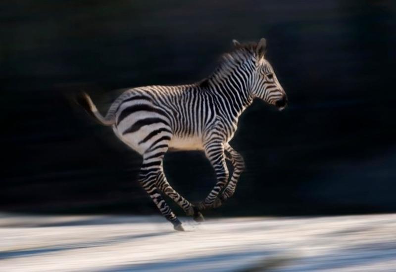 Полицейская погоня за зебрами в Дрездене попала на видео