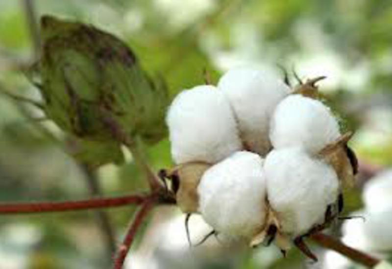 Азербайджан значительно нарастил производство хлопка