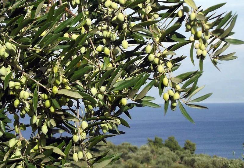 В Италии пересадили оливковые деревья в рамках проекта TAP