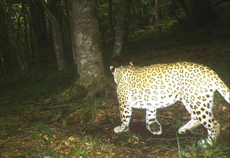 В Азербайджане зафиксировали мать и детеныша редкого леопарда