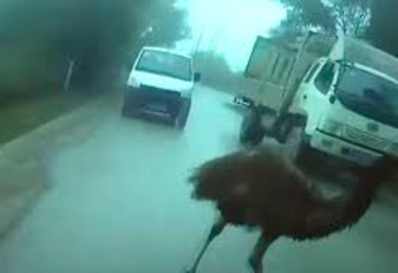 "В Китае задержали страуса за нарушение ПДД <span class=""color_red"">- ВИДЕО</span>"