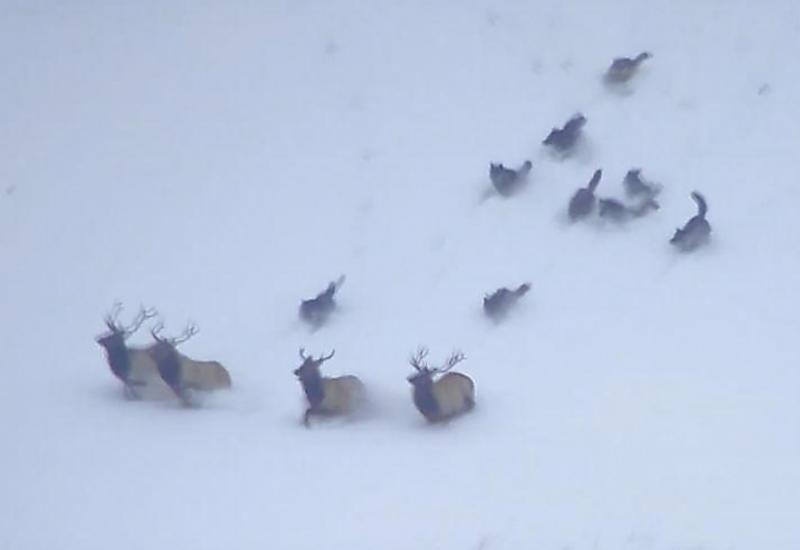 Драматичная картина охоты стаи волков на оленей