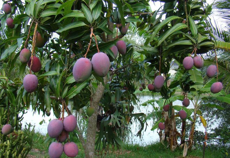 В Азербайджане будут выращивать экзотические фрукты
