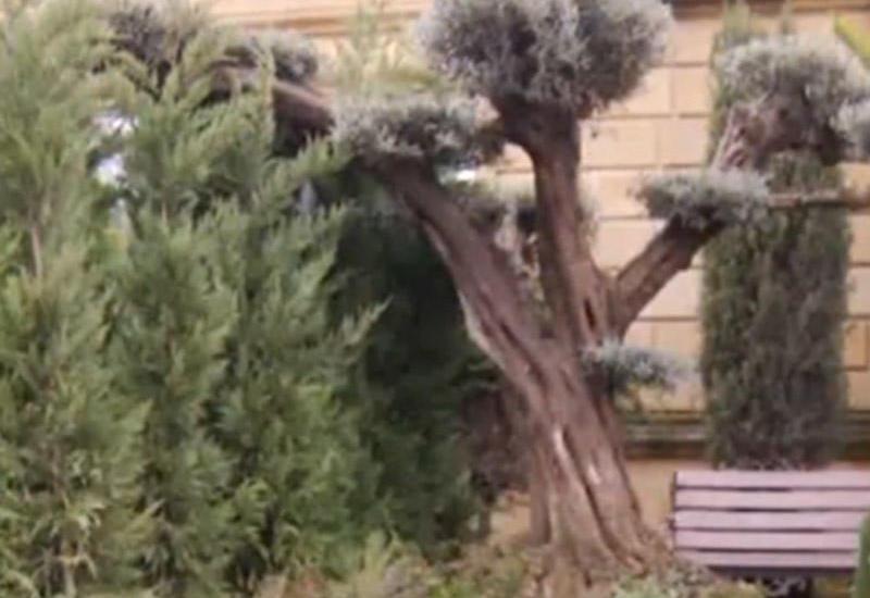 Bakıda 75 min manata ağac satılır