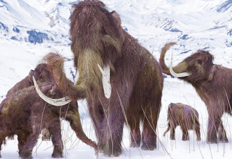 Вымирание мамонтов связали с их большим весом