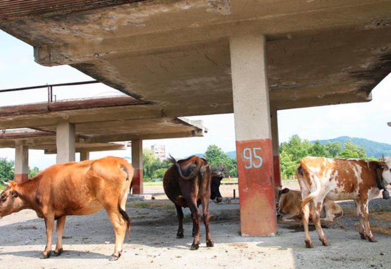 В Индии скоростной поезд сломался из-за стада коров