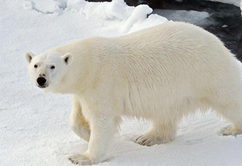 Эксперты чипируют белых медведей на Новой Земле