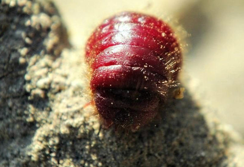 Армения собралась включить в список ЮНЕСКО жука