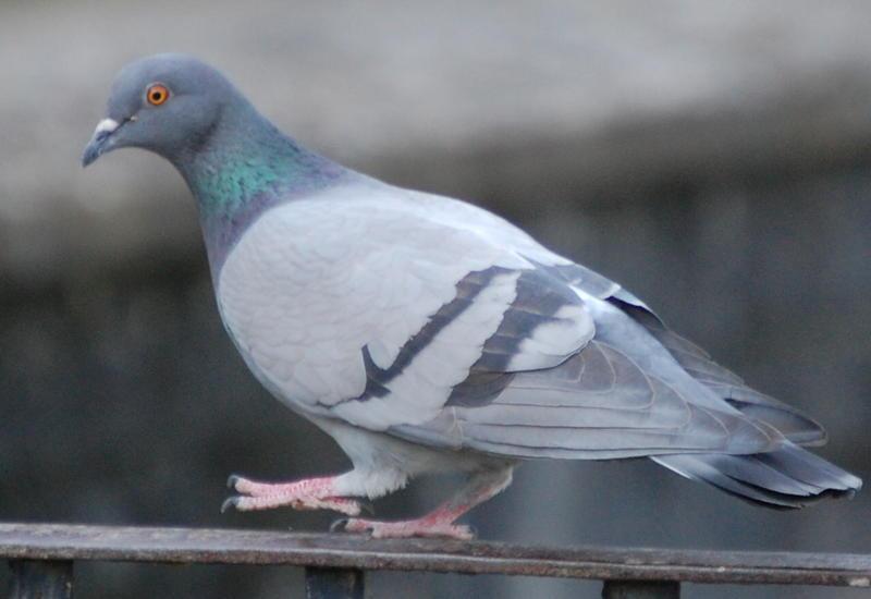 В Россию не пустили голубей из Азербайджана