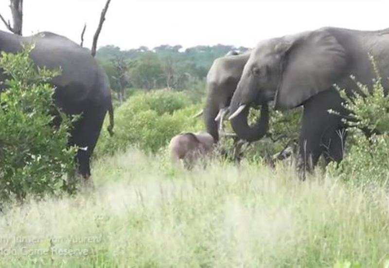 В ЮАР сняли на камеру необычного розового слоненка