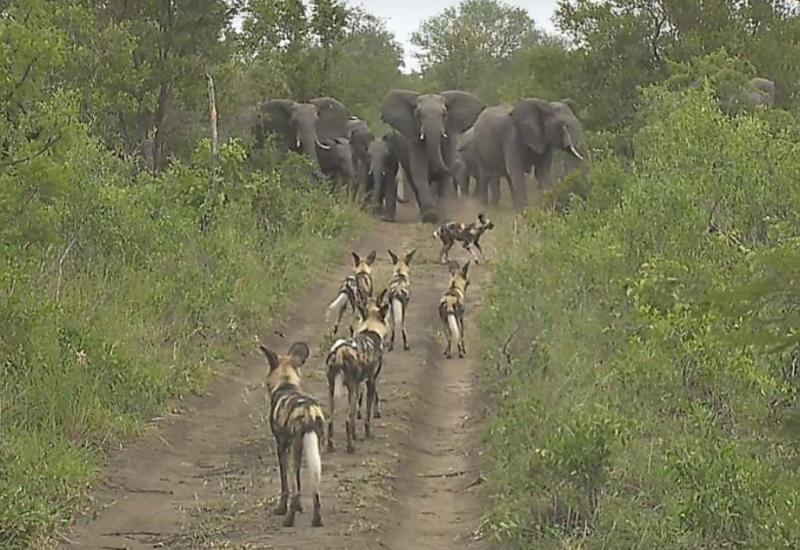 Стадо слонов защитило детёнышей от нападения диких собак в ЮАР