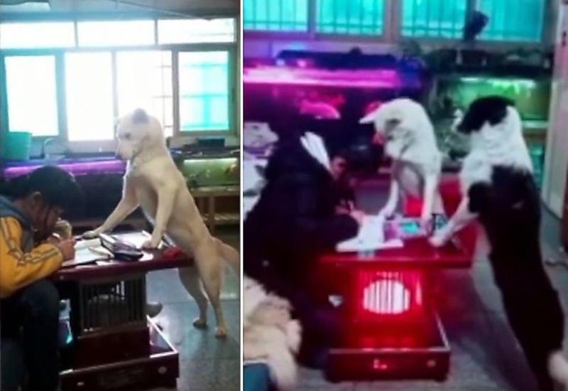 Китаец обучил собаку присматривать за дочерью, когда она делает уроки
