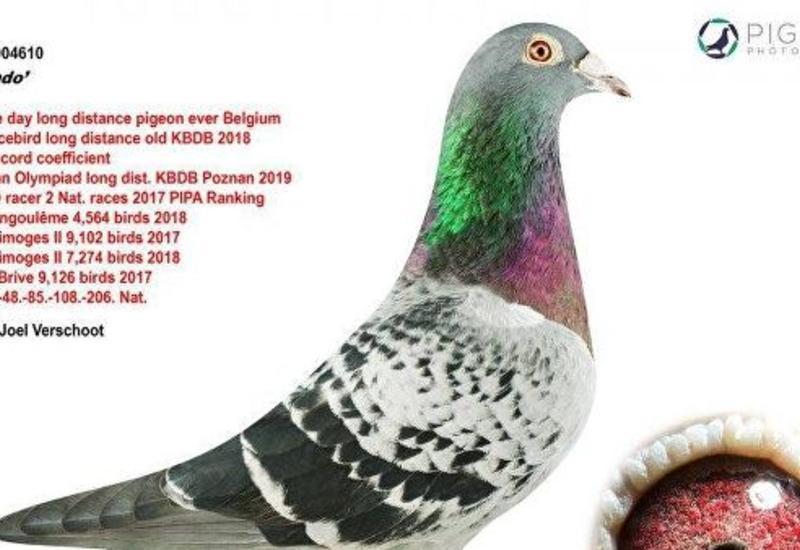 В Бельгии почтового голубя продали за рекордную сумму