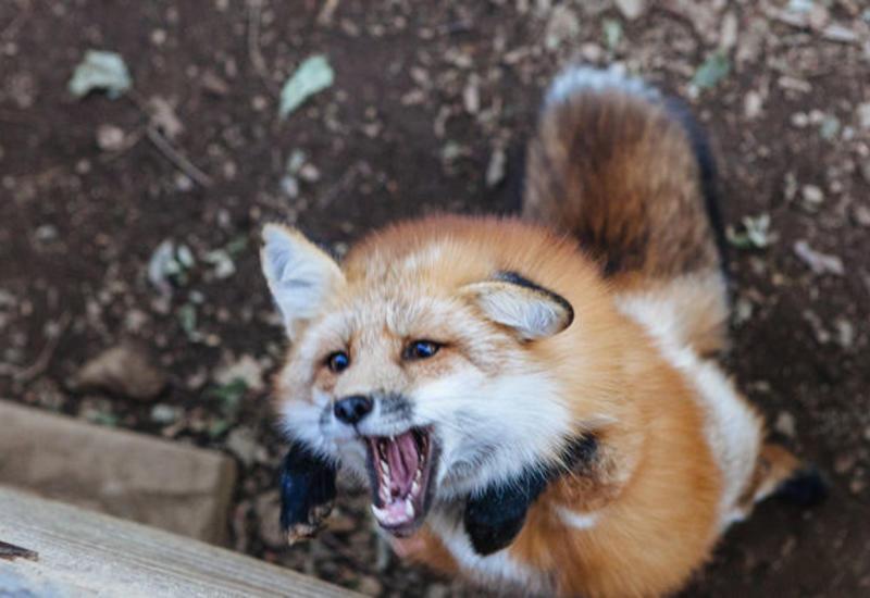Нашествие диких лис в Москве
