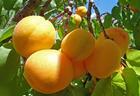 Назван самый полезный дляпечени фрукт