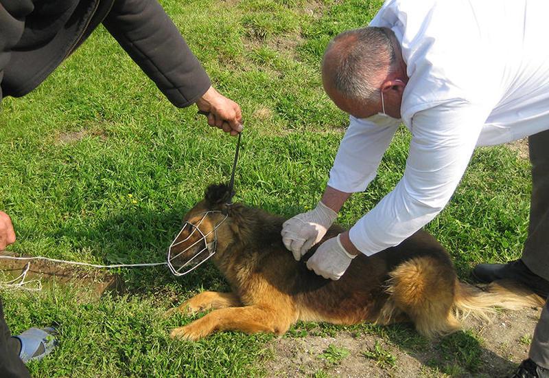 В Азербайджане проводится масштабная вакцинация собак от бешенства