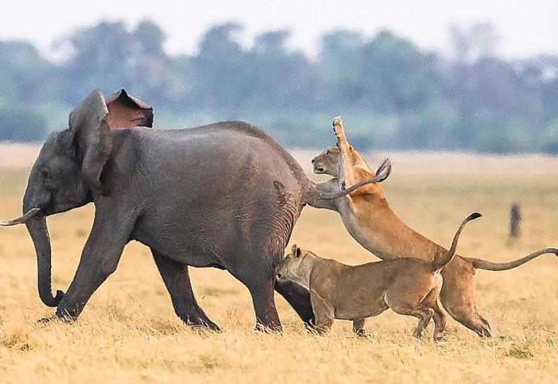 Стадо слонов отбило детеныша у львиного прайда