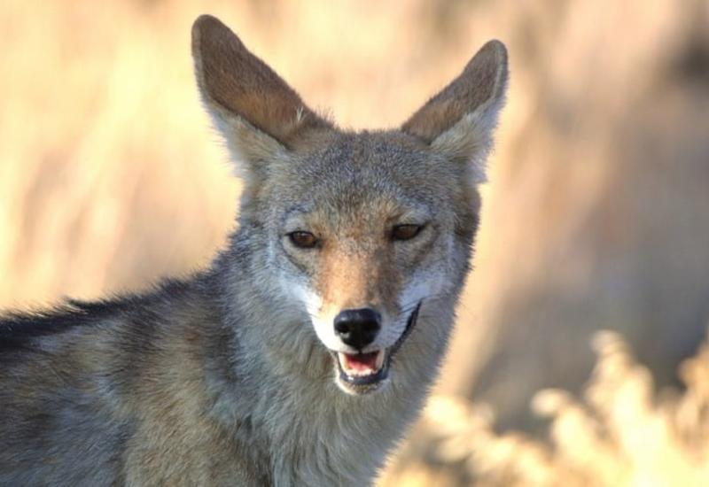 Отважный кот вступил в жестокую схватку с диким койотом, защищая дом хозяев