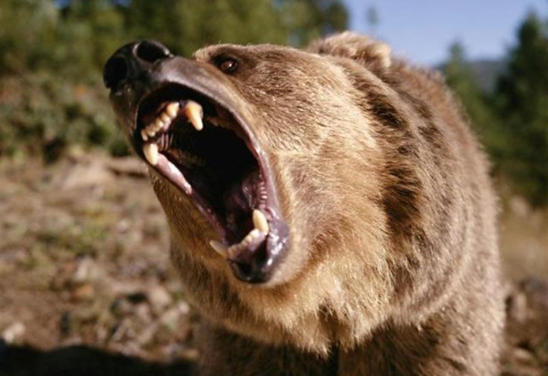 На Камчатке турист хотел поиграть с медведем, и тот его проучил