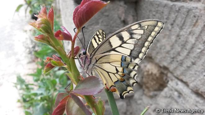 trend_machaon_butterfly_040918_1.jpg