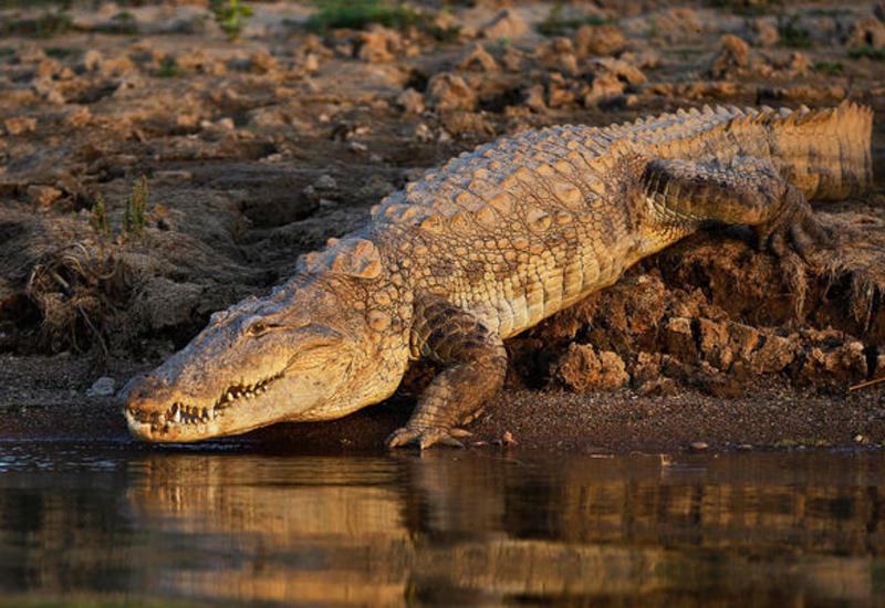 Из фермы в Южной Африке сбежали десятки крокодилов