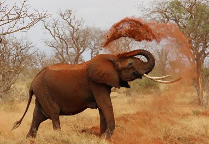 В Ботсване слон насмерть затоптал стрелявшего в него фермера