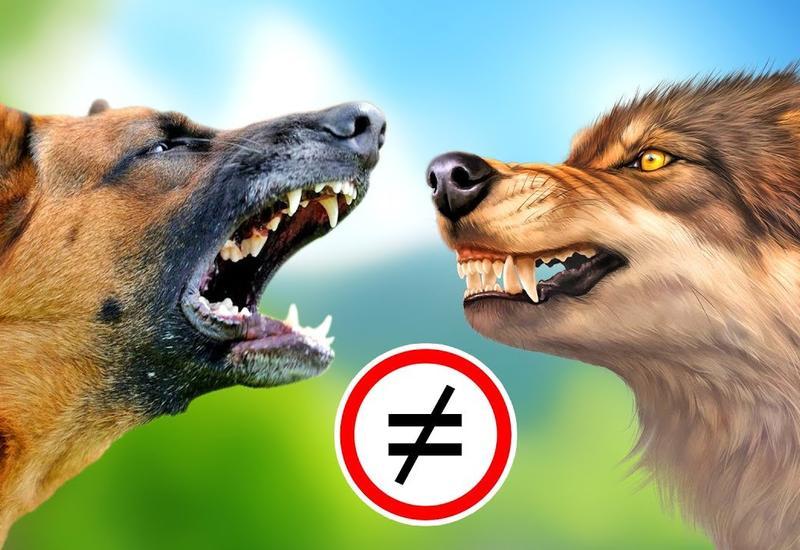 Почему собака - это далеко не волк