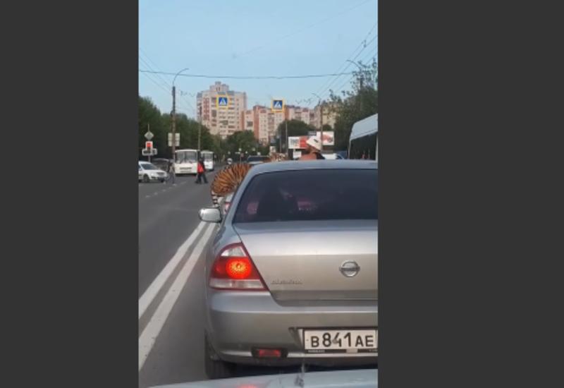 Тигр выбежал на проезжую часть в России