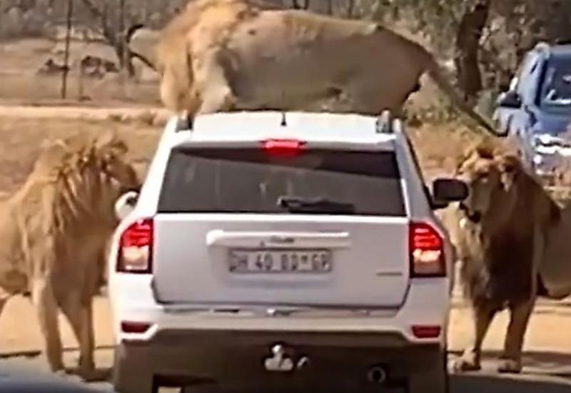 Львы проверили на прочность автомобиль туриста в африканском парке