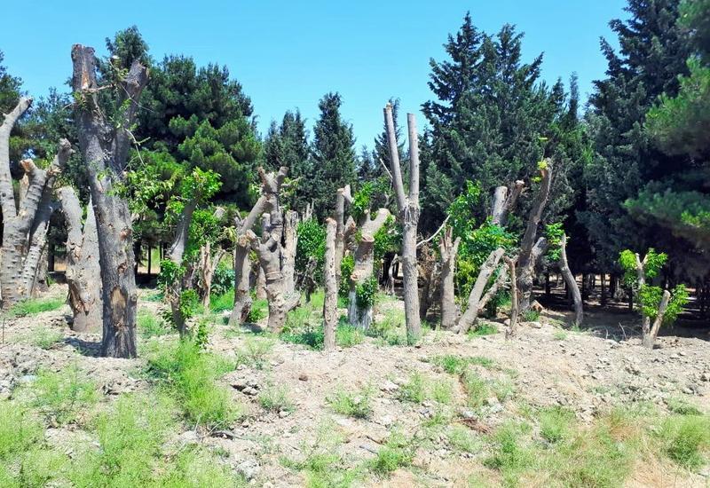 Госагентство опровергло информацию о массовой вырубке деревьев в Баку