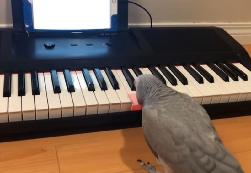 Попугай-меломан исполняет музыку на собственном пианино