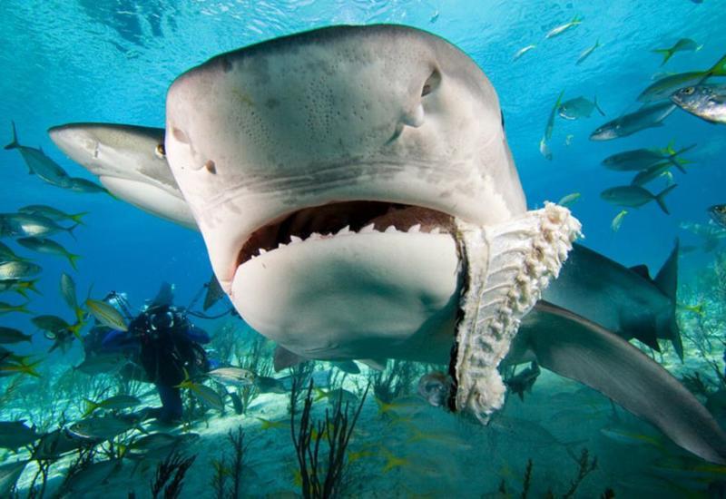 Бесстрашный дайвер ввел в транс смертоносную акулу и попал на камеры