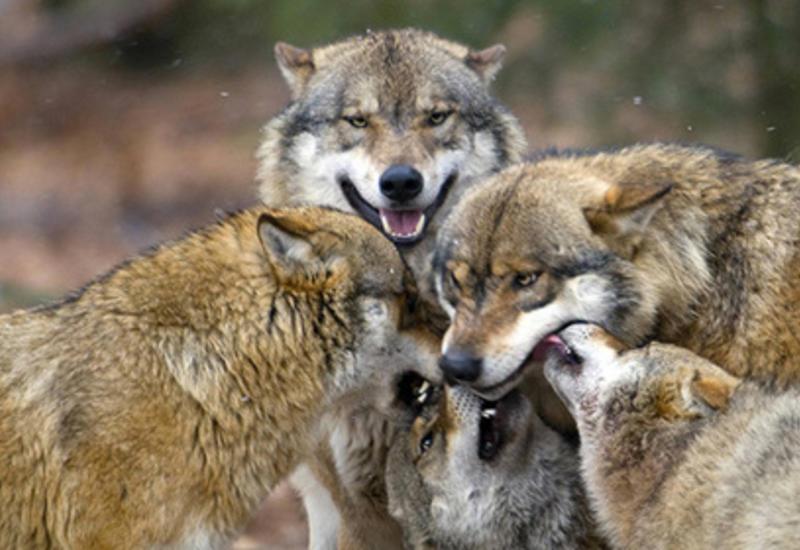 В Канаде волк напал на спящих в палатках туристов