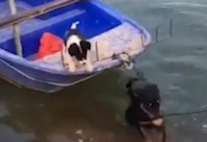 Ротвейлер спас свою подругу, испытывающую страх перед водой