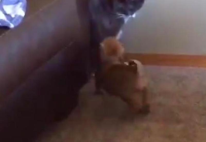 Кот нокаутировал щенка одним ударом в конце боя