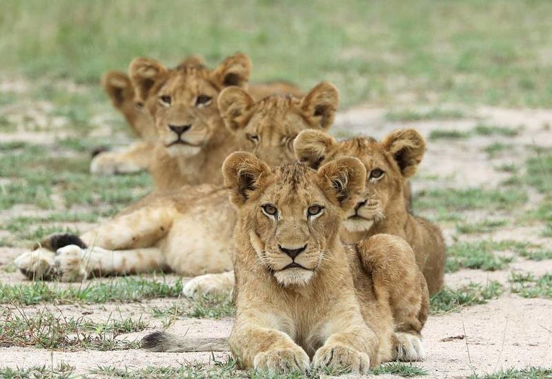 Ученые подсчитали численность львов в Африке: печальные выводы