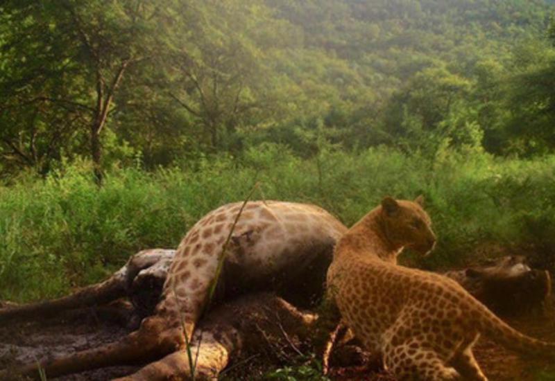 Редчайший розовый леопард попал на скрытую камеру