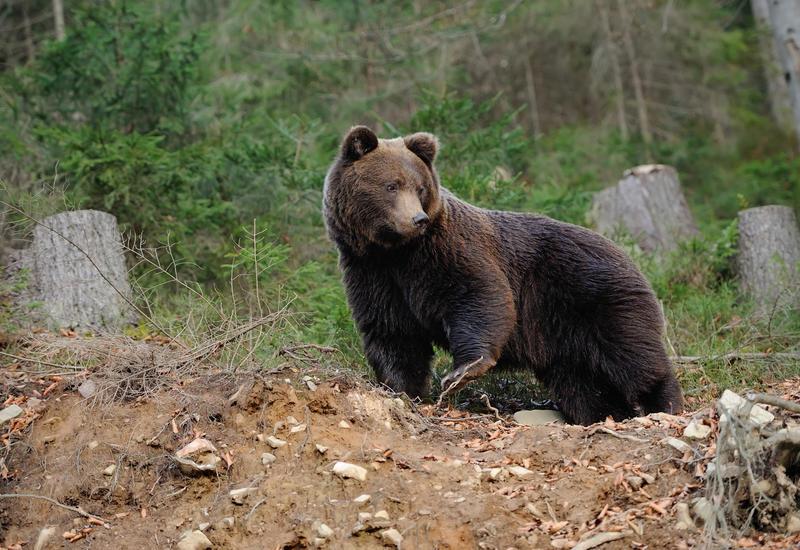 Известного французского композитора загрыз медведь