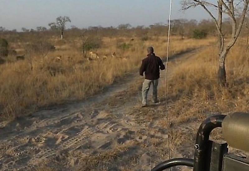 Гид, следуя по следам львов, получил неожиданную встречу с хищниками