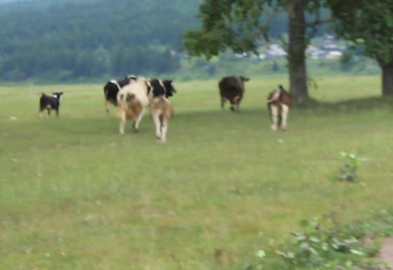 Коровы устроили погоню за пони на поле под Иркутском