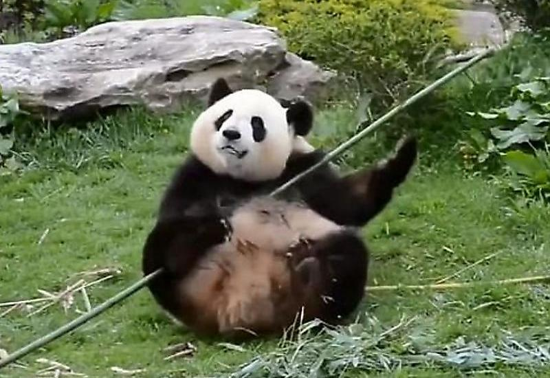 Настоящая «Кунг-фу Панда» обнаружена в Китае