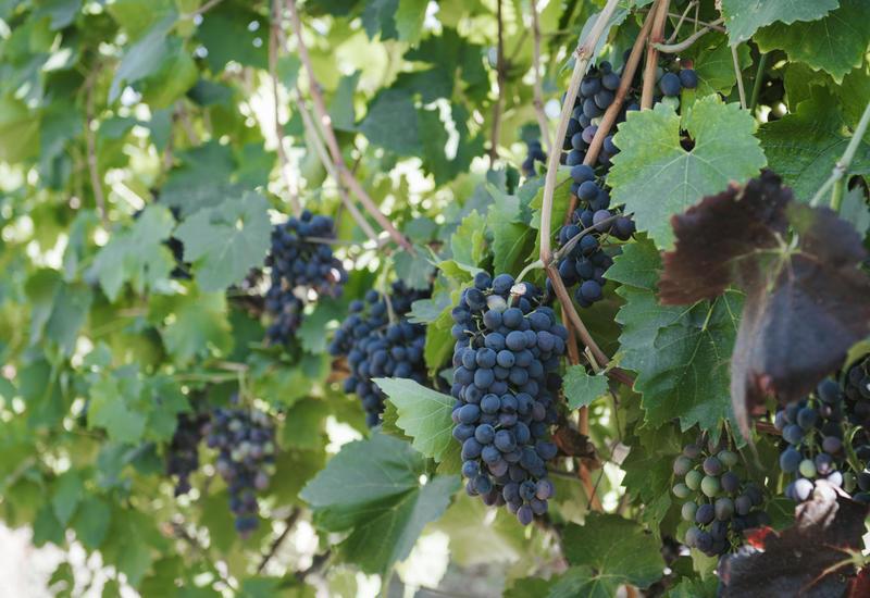 В этом районе Азербайджана появился первый кооператив в сфере виноградарства