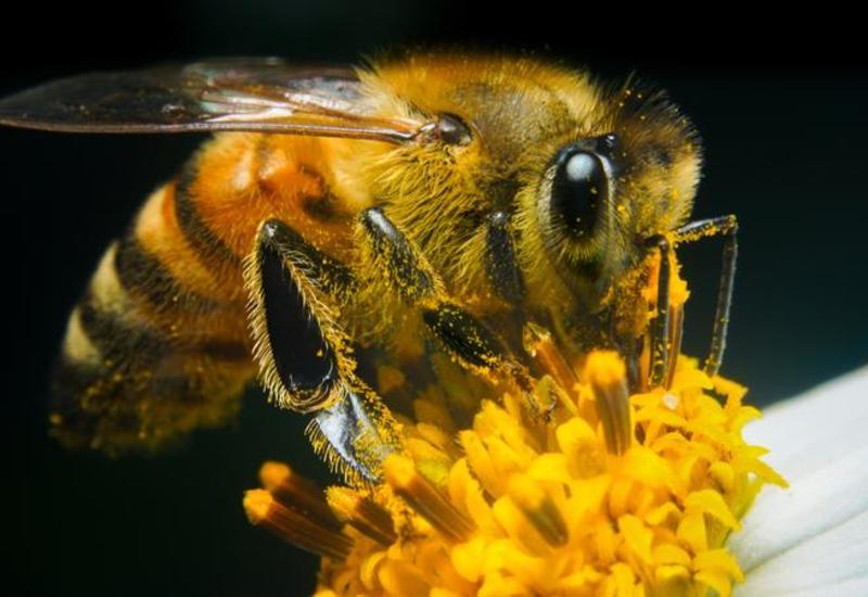 Что нужно знать о лечении пчелиным ядом