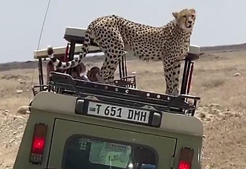 Любопытный гепард напугал туристов, забравшись в их машину